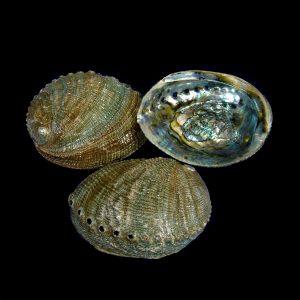 Green Abalone - Resin