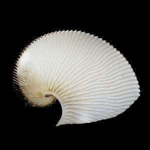 Common Paper Nautilus