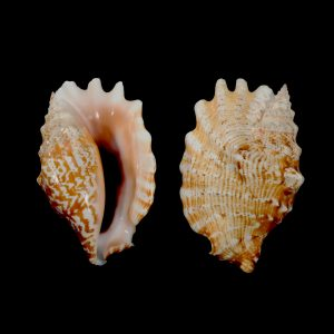 Laciniate Conch