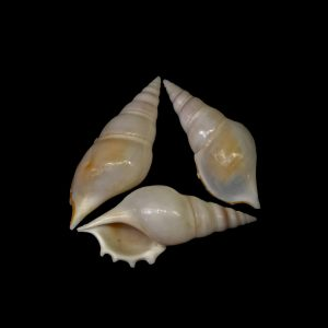 Delicate Tibia