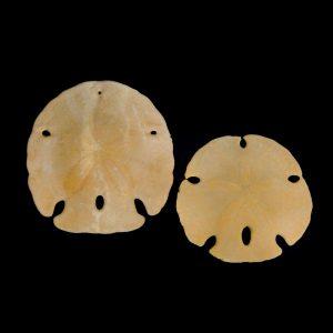 Keyhole Sandollar - Fossil