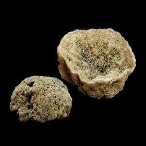 Brown Florida Sponge