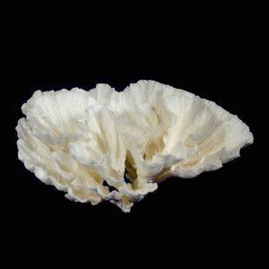 Poca Coral
