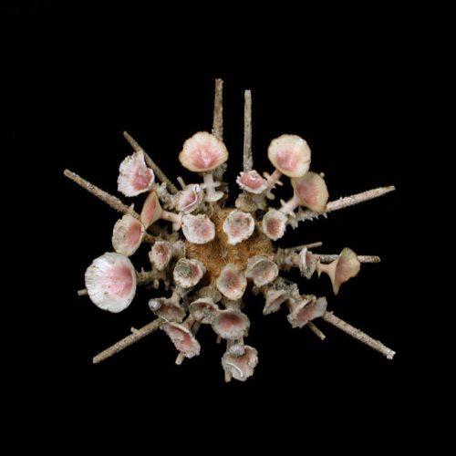 Butter Cup Urchin