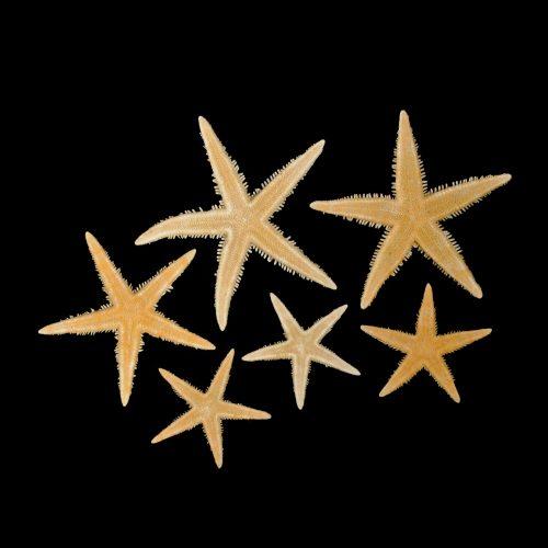 P.I. Spiny Star