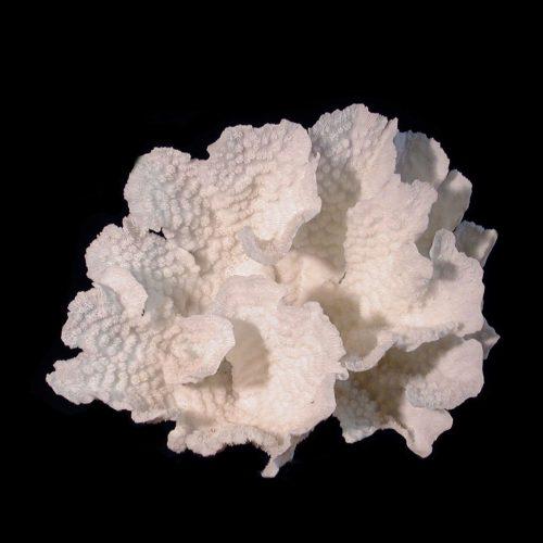 Star Merulina Coral